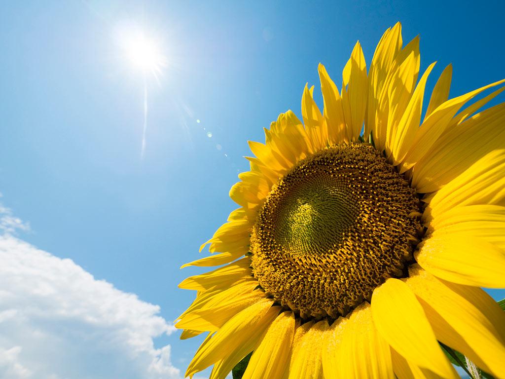 明るい日光とひまわり