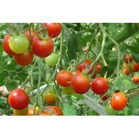 ミニトマト ※7月下旬~10月にお届け