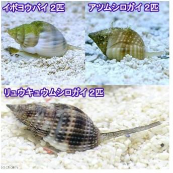 (海水魚)貝 お掃除レンジャーセット・ミニ 底砂とその他の掃除(1セット)