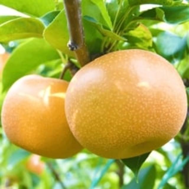 信州の梨 (豊水)約5キロ!果汁たっぷりジューシーな梨!
