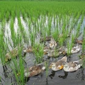 特別栽培米「ミルキークイーン」玄米 5kg