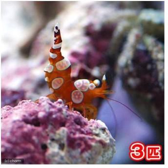(海水魚)エビ イソギンチャクモエビ(3匹)