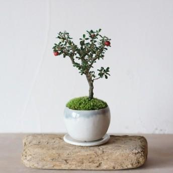 青銀流れのうつわ シロシタンのミニ盆栽