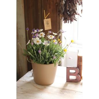 香りを楽しむ♪ レースラベンダーと純白マーガレットの寄せ植え