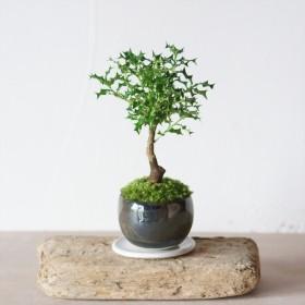 銅黒のうつわ|姫ヒイラギのミニ盆栽