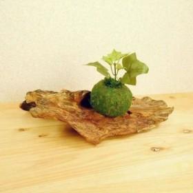 【温泉流木】木の皮が残る薄く美しい流木台座 流木インテリア 流木アート
