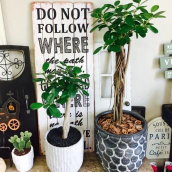 新作 希少!現品【パンダガジュマル】幸せの木 人気観葉植物 黒系陶器鉢!レアです