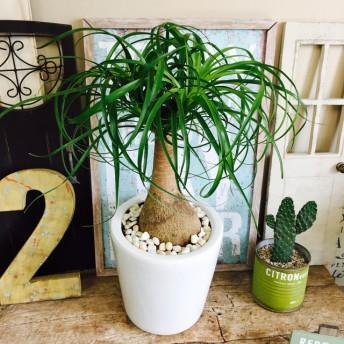 新作 現品【トックリラン ノリナ】白陶器鉢入り!ボリュームたっぷり♪おしゃれ観葉植物