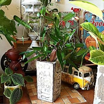 アメリカン シャビー/ ルート66プランター/ 観葉植物 (希少種) #飛び葉クロトン グリーンベル
