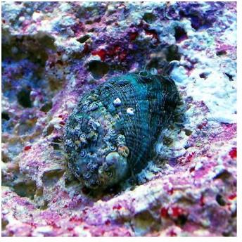 (海水魚)貝 アワビグリーン Sサイズ(3匹)
