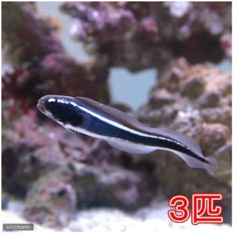(海水魚)コンビクトブレニー(3匹)