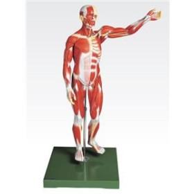 5000円以上送料無料 人体解剖模型 【男性/27分解】 塩化ビニール製 台付き J-111-2【代引不可】 ホビー・エトセトラ:科学・研究・実験: