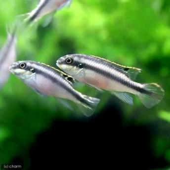 (熱帯魚)ペルヴィカクロミス・プルケール(ペルマト)(3匹)