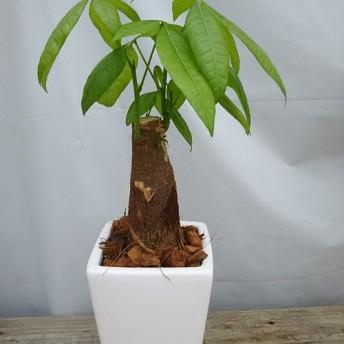 送料無料!開運パキラ陶器鉢 観葉植物
