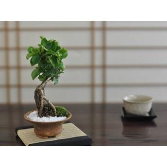 【盆栽】ツルウメモドキ【ミニ盆栽 ミニ つるうめもどき ツルウメモドキ 実ギフト 敬老の日】