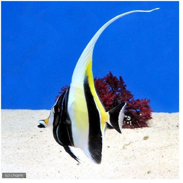 (海水魚)外国産 ツノダシ(1匹) チョウチョウウオ