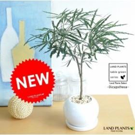 new!! アラレア 曲がり仕立て 白色丸形陶器に植えた ディジゴセカモミジバアラリア ノコギリヤツデ 孔雀木 シェフレラ