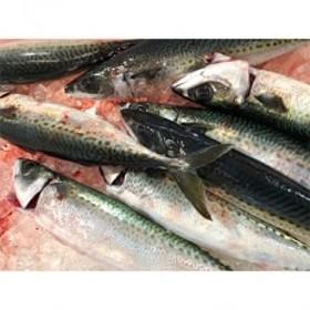 竹中水産で人気の真鯖たっぷり3キロ!
