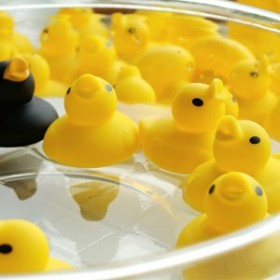 バストイ/あひる風呂[おもちゃ アヒル あひるで遊ぶ 50匹 子供の日 かわいい 水遊び お風呂のおもちゃ]