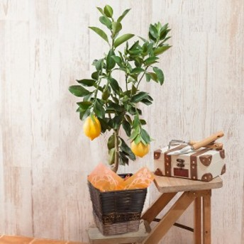 【父の日フラワーギフト】 鉢植え「レモン」