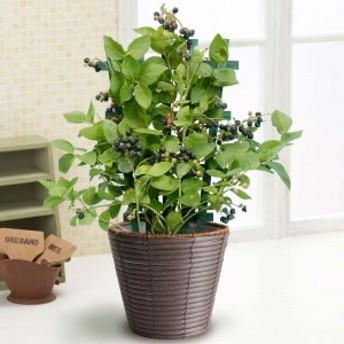 【父の日フラワーギフト】 鉢植え「実付きブルーベリー=収穫が待ちどおしい=」