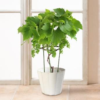 【父の日フラワーギフト】 鉢植え「デラウェア」