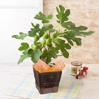 【父の日フラワーギフト】 鉢植え「イチジク」