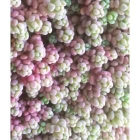 ︎多肉植物 パープルヘイズ セダム カット苗