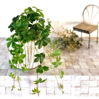 私だけの『シュガーバイン』 インテリア 観葉植物 母の日(No.11)