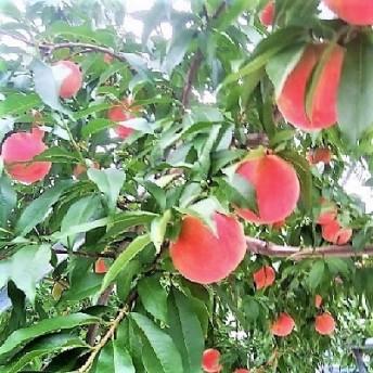 晩生白桃(紅錦香、美月、ゆうぞら、あぶくま、白根白桃)3kg 0033-207