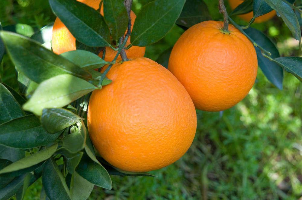 実っているネーブルオレンジ