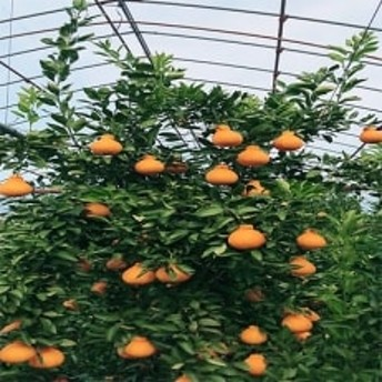 【2020年3月中旬以降出荷 】濃厚ジューシー 和歌山県有田産 完熟ハウスデコ 5kg