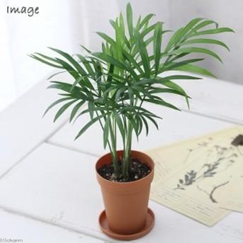 (観葉植物)テーブルヤシ 2号ロング(1鉢) 受け皿無し 北海道冬季発送不可