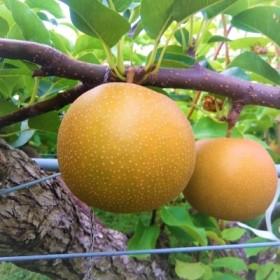 新甘泉(秀品(2.5キロ)たさき農園)