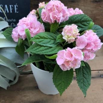 母の日に 山アジサイ 伊予獅子でまり もうすぐピンクに 毎年咲きます