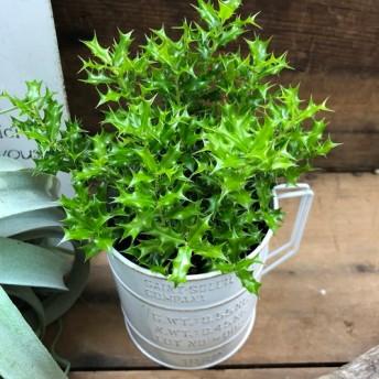 SALE 2点セット 姫ヒイラギ+白カップ 魔除け木に 観葉植物 インテリア ガーデニング