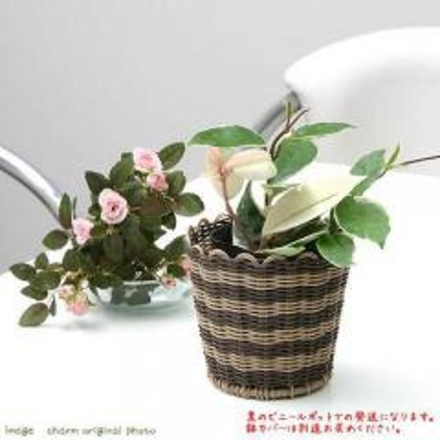 (観葉植物)ホヤ カルノーサ(サクララン) 3号(1ポット) 北海道冬季発送不可