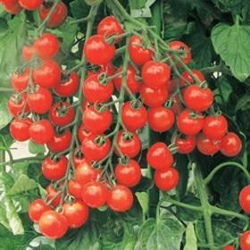 トキタ種苗 ミニトマト サンチェリープレミアム 小袋