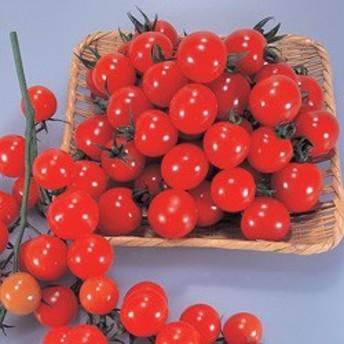 トキタ種苗 ミニトマト サンチェリー250 小袋