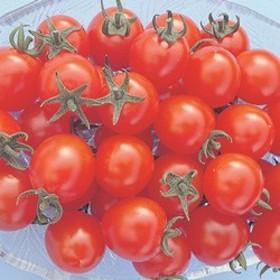 トキタ種苗 ミニトマト サンチェリーエキストラ 小袋