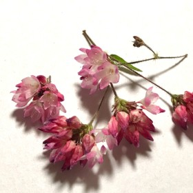 秋までお待ちください!ミゾソバ 15本(30個)ピンクの 小さな花 山野草 野の花 赤そば ドライフラワー ハーバリウム レジン封入