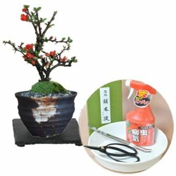 【母の日】かわいいミニ長寿梅の盆栽とはじめての道具セット 天然石の敷物付【盆栽 ミニ盆栽 鉢植】