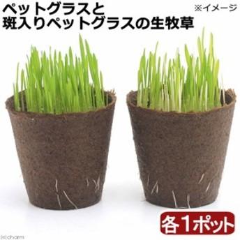 (観葉植物)ペットグラスと斑入りペットグラス生牧草セット 燕麦 直径8cmECOポット植え(各1ポット) 生牧草
