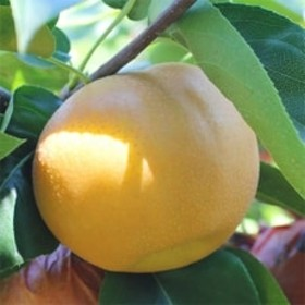 【長野県産】果汁たっぷりで甘~い梨(南水)約10kg 秀品