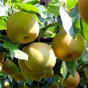 【長野県産】シャリっと瑞々しい梨(幸水・豊水)約10kg 秀品