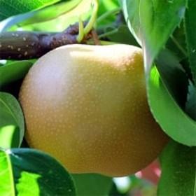 【長野県産】果汁たっぷりで甘~い梨(南水)約5kg 秀品