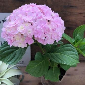 可愛い てまりてまり ピンク コンパクトな苗 アジサイ ガーデニング