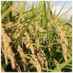 【アイガモ農法】希少品種「さわのはな」4kg