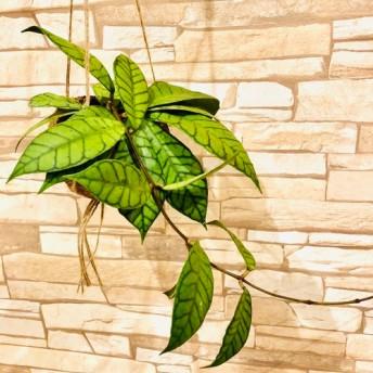 希少!『ホヤ・カリマンタン』ココナッツハンギング 壁掛けインテリア 観葉植物 多肉植物(No.285)