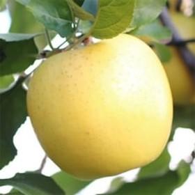 ジューシーな黄金色りんご(シナノゴールド) 約3kg 秀品